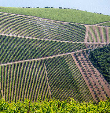 Rolling hills covered in vineyards