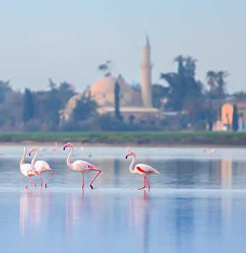 Flamingos paddling in the Larnaca Salt Lakes