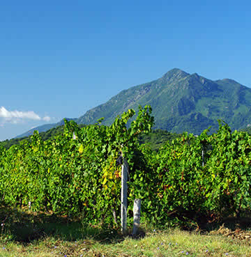 Vineyards backed by mountains in Corsica