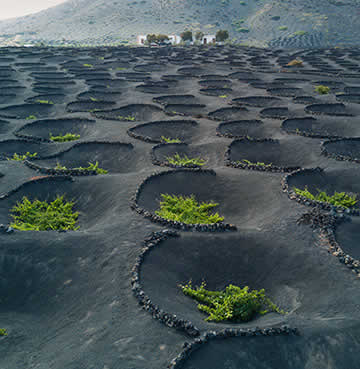 Black, volcanic sands are dug into circular hollows and used to plant individual vines