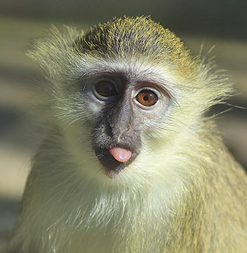 A little monkey at a Barbados wildlife reserve