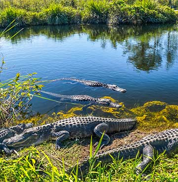 Alligators on the edge of the swamp, Everglades National Park