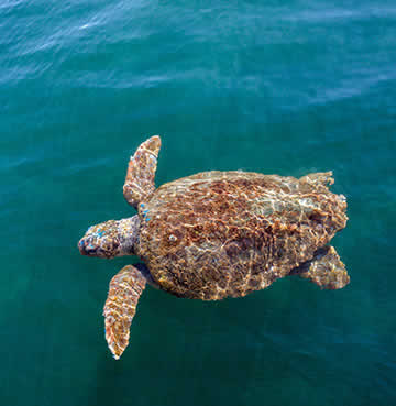 Caretta Caretta Loggerhead Sea Turtle swimming in the Ionian Sea, just off the shore of Kefalonia