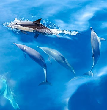 A group of dolphins swimming in the sea off the coast of the Algarve
