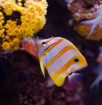 A white and yellow angel fish at Palma Aquarium