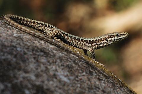 In focus shot of a wall lizard looking into the distance