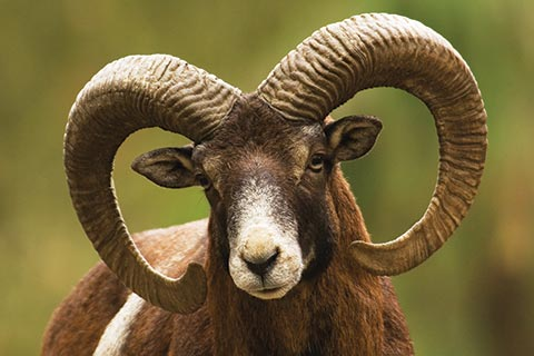 Cypriot Mouflon with curved horns looking into the camera