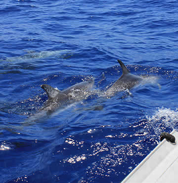 Dolphins splashing to the waters surface on a boat tour
