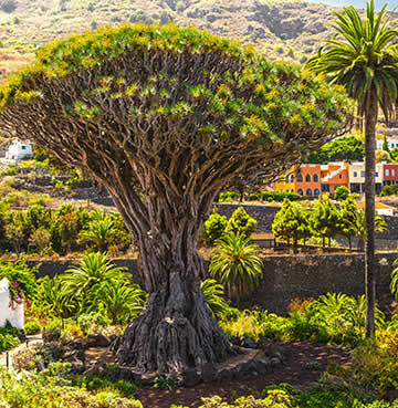 An 800-year-old dragon tree, Icod de los Vinos