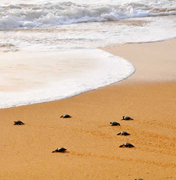 Newly hatched sea turtles make the journey from their nest to the sea