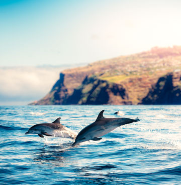 Dolphins playfully jumping out of the waters with Madeira in the background