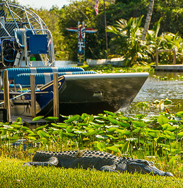 An alligator in the Everglades, Florida