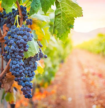 Bunch of purple grapes in Italian vineyard