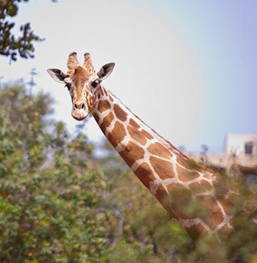 A giraffe at Paphos zoo stares over at the camera through lush vegetation