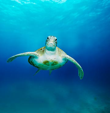 A sea turtle swimming towards the camera underwater in Barbados