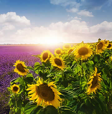 Golden sunflowers and purple lavender fields in Provence, South of France